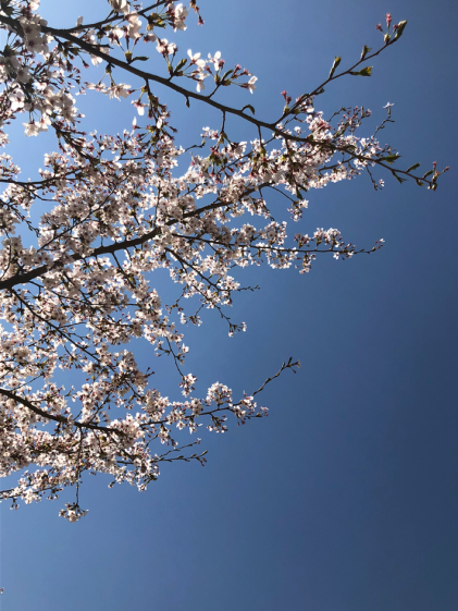 Cherry blossom at its finest (Photo credit: Yvonne Z.).