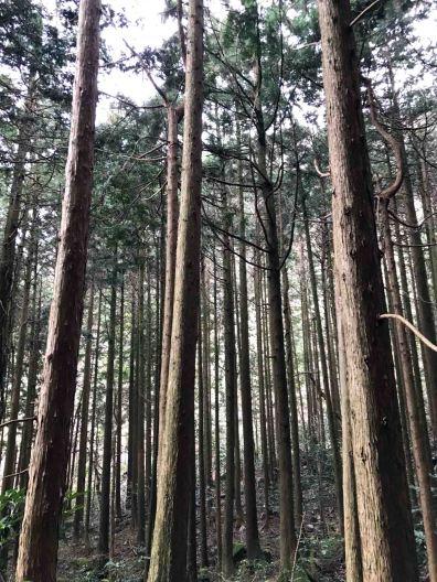 Tall, beautiful cedar trees lined up